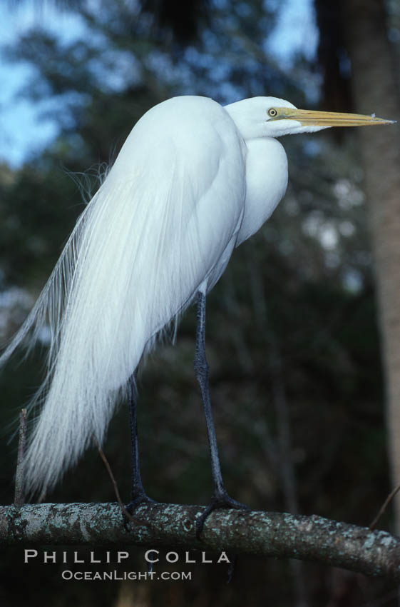 Egret. Homosassa River, Florida, USA, natural history stock photograph, photo id 05839