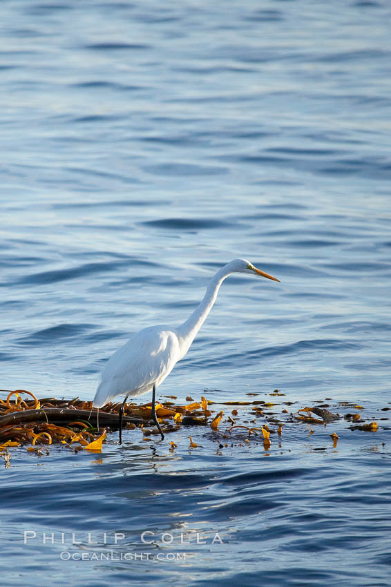 Egret. Monterey, California, USA, natural history stock photograph, photo id 14919
