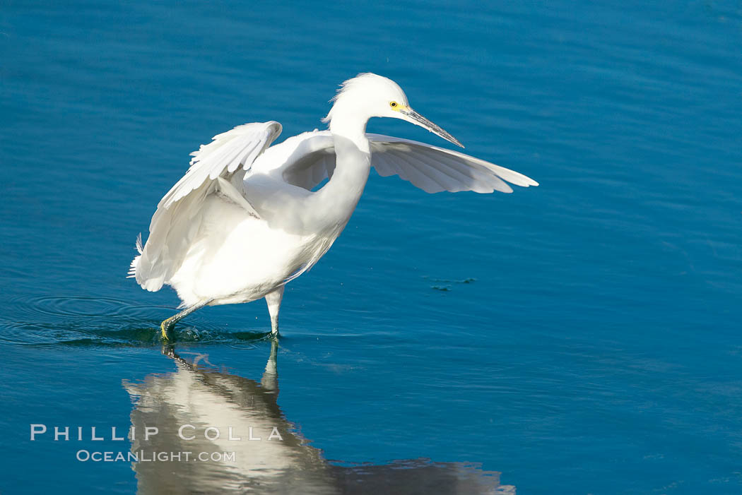 Snowy egret. Bolsa Chica State Ecological Reserve, Huntington Beach, California, USA, Egretta thula, natural history stock photograph, photo id 19904