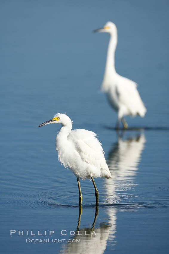 Snowy egret wading, foraging for small fish in shallow water. San Diego Bay National Wildlife Refuge, California, USA, Egretta thula, natural history stock photograph, photo id 17447