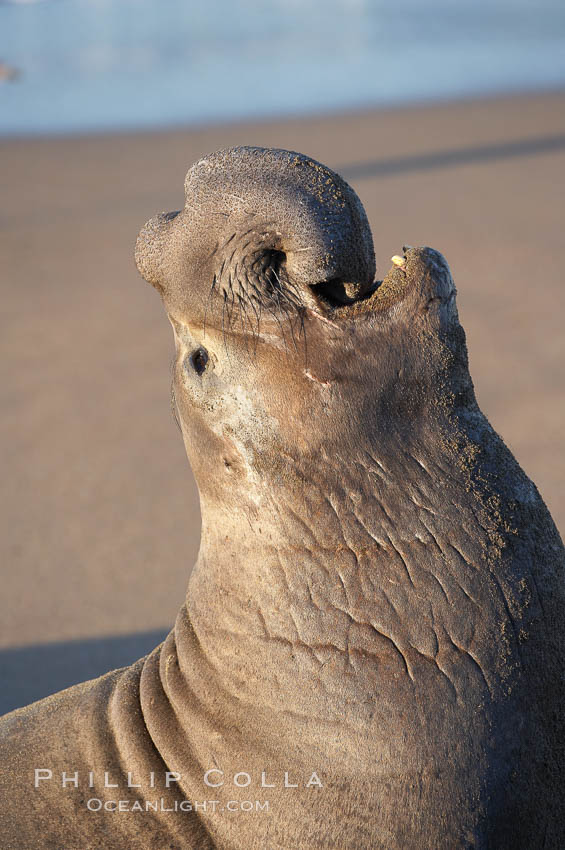 Bull elephant seal, adult male, bellowing. Its huge proboscis is characteristic of male elephant seals. Scarring from combat with other males.  Central California. Piedras Blancas, San Simeon, USA, Mirounga angustirostris, natural history stock photograph, photo id 15510