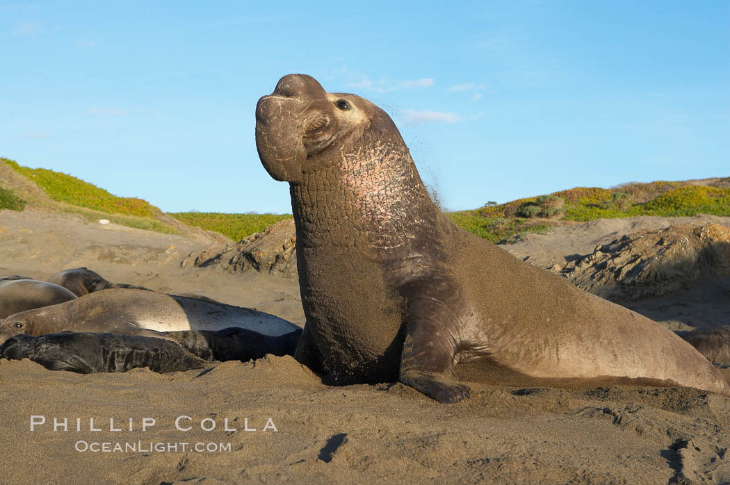 Male elephant seal rears up on its foreflippers and bellows to intimidate other males and to survey its beach territory.  Winter, Central California. Piedras Blancas, San Simeon, USA, Mirounga angustirostris, natural history stock photograph, photo id 15492