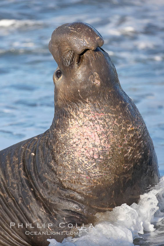 Bull elephant seal, adult male, bellowing. Its huge proboscis is characteristic of male elephant seals. Scarring from combat with other males.  Central California. Piedras Blancas, San Simeon, California, USA, Mirounga angustirostris, natural history stock photograph, photo id 15461