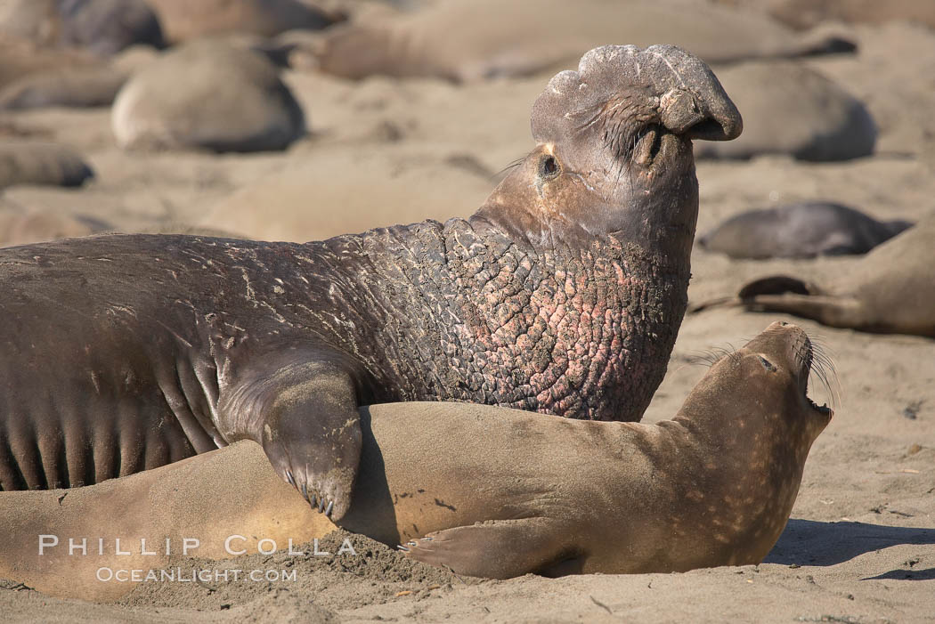 A bull elephant seal prepares to mate with a much smaller female.  Males may up to 5000 lbs, triple the size of females.  Sandy beach rookery, winter, Central California. Piedras Blancas, San Simeon, USA, Mirounga angustirostris, natural history stock photograph, photo id 15506