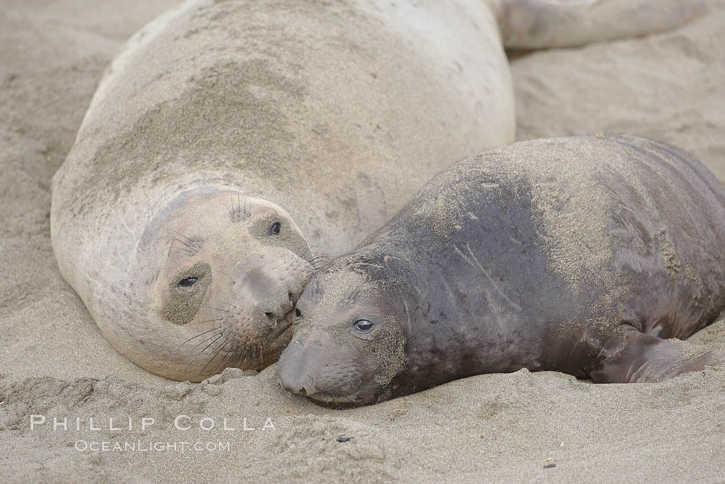 Mother elephant seal and her pup.  The pup will nurse for 27 days, when the mother stops lactating and returns to the sea.  The pup will stay on the beach 12 more weeks until it becomes hungry and begins to forage for food. Piedras Blancas, San Simeon, California, USA, Mirounga angustirostris, natural history stock photograph, photo id 20405