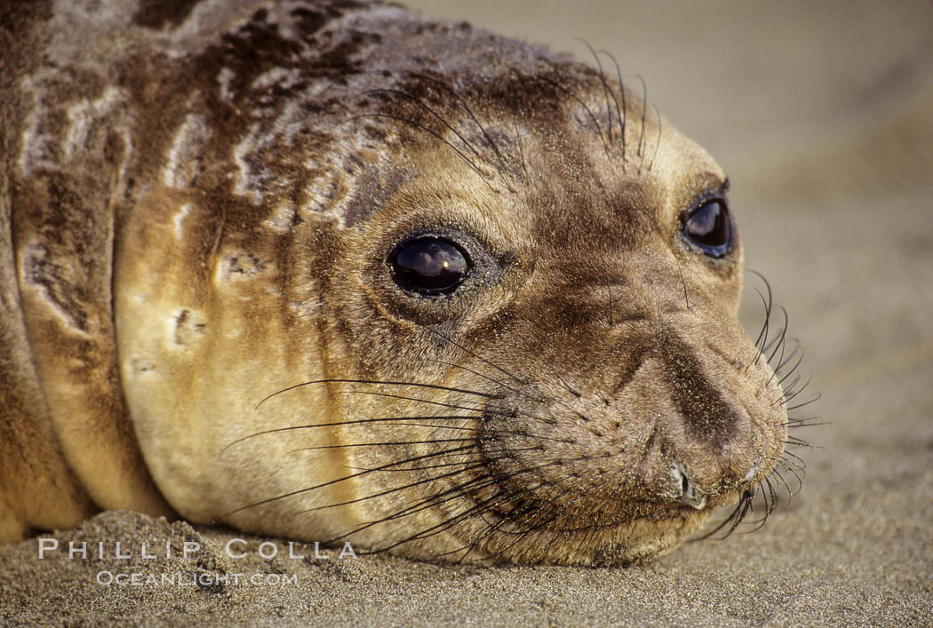 Northern elephant seal, pup. Piedras Blancas, San Simeon, California, USA, Mirounga angustirostris, natural history stock photograph, photo id 00948