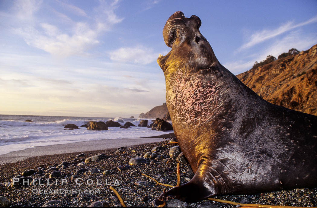 Northern elephant seal, sunset.  Scars on neck and chest are from territorial battles with other adult males. Big Sur. Gorda, California, USA, Mirounga angustirostris, natural history stock photograph, photo id 10037