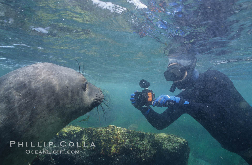 Northern elephant seal and freediving photographer, underwater, San Benito Islands. San Benito Islands (Islas San Benito), Baja California, Mexico, Mirounga angustirostris, natural history stock photograph, photo id 10031