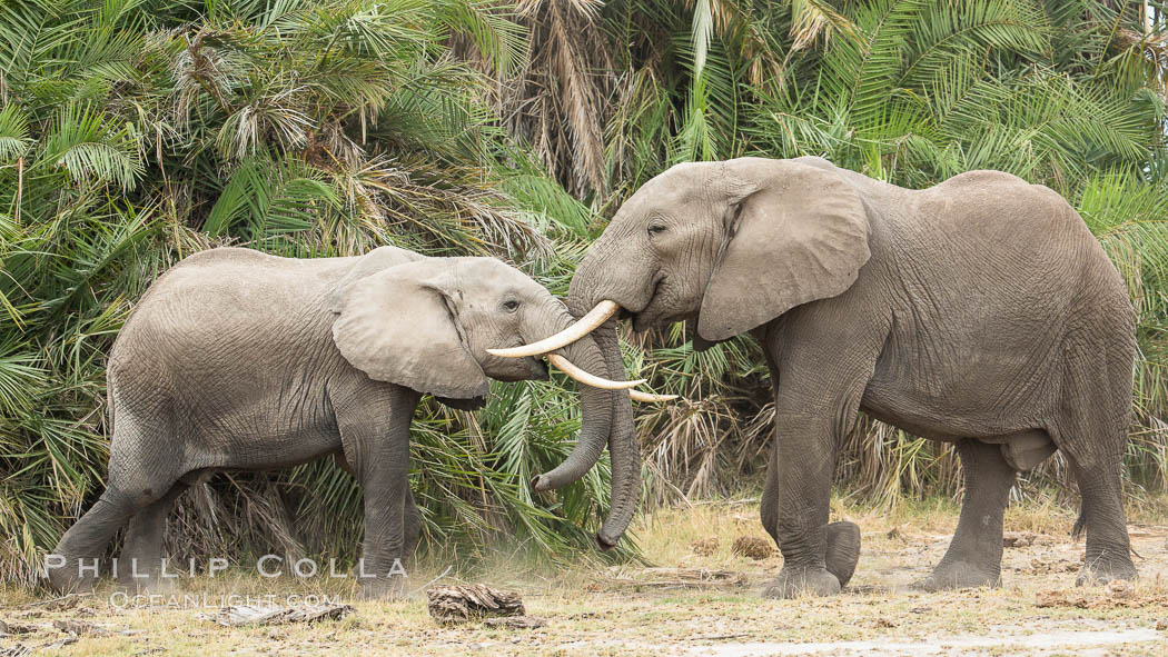 Elephants sparring with tusks. Amboseli National Park, Kenya, Loxodonta africana, natural history stock photograph, photo id 29545