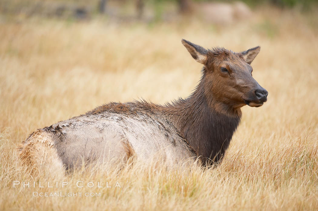 Elk, adult female, rests in grass meadow. Yellowstone National Park, Wyoming, USA, Cervus canadensis, natural history stock photograph, photo id 19742