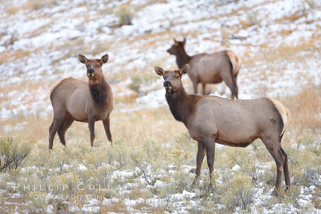 Female elk in early autumn snowfall. Mammoth Hot Springs, Yellowstone National Park, Wyoming, USA, Cervus canadensis, natural history stock photograph, photo id 19762