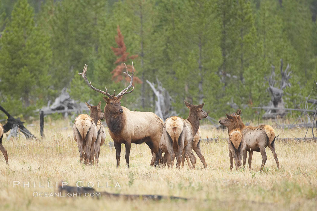 Bull elk, with large antlers, alongside female elk during rutting season, autumn.  A bull will defend his harem of 20 cows or more from competing bulls and predators. Only mature bulls have large harems and breeding success peaks at about eight years of age. Bulls between two to four years and over 11 years of age rarely have harems, and spend most of the rut on the periphery of larger harems. Young and old bulls that do acquire a harem hold it later in the breeding season than do bulls in their prime. A bull with a harem rarely feeds and he may lose up to 20 percent of his body weight while he is guarding the harem. Yellowstone National Park, Wyoming, USA, Cervus canadensis, natural history stock photograph, photo id 19782