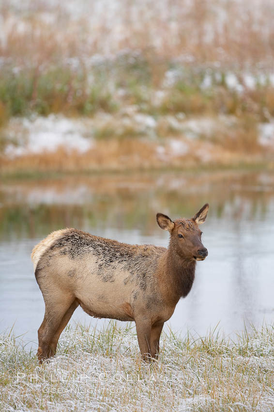 Elk. Madison River, Yellowstone National Park, Wyoming, USA, Cervus canadensis, natural history stock photograph, photo id 20990