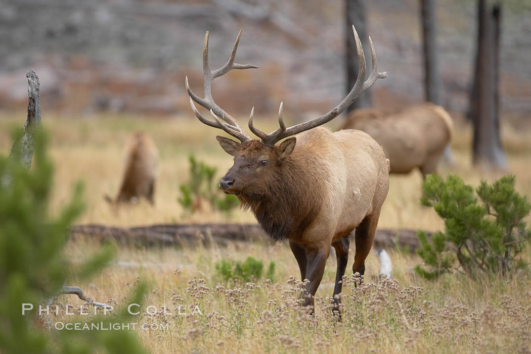 Elk, bull elk, adult male elk with large set of antlers.  By September, this bull elk's antlers have reached their full size and the velvet has fallen off. This bull elk has sparred with other bulls for access to herds of females in estrous and ready to mate. Yellowstone National Park, Wyoming, USA, Cervus canadensis, natural history stock photograph, photo id 19773