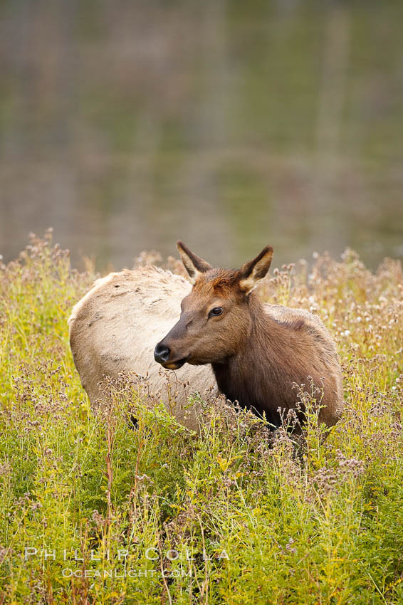 Elk, female, grazing among tall grasses. Yellowstone National Park, Wyoming, USA, Cervus canadensis, natural history stock photograph, photo id 19706