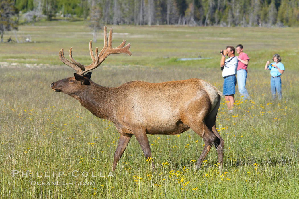 Tourists get a good look at wild elk who have become habituated to human presence in Yellowstone National Park. Yellowstone National Park, Wyoming, USA, Cervus canadensis, natural history stock photograph, photo id 13252