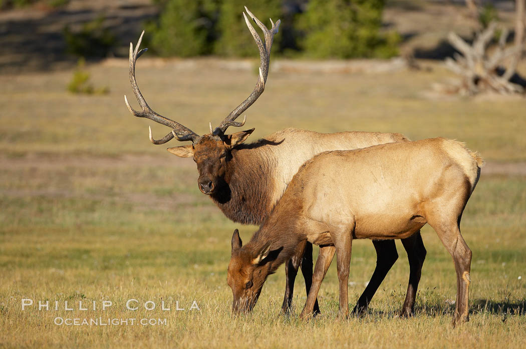 Bull elk, with large antlers, alongside female elk during rutting season, autumn.  A bull will defend his harem of 20 cows or more from competing bulls and predators. Only mature bulls have large harems and breeding success peaks at about eight years of age. Bulls between two to four years and over 11 years of age rarely have harems, and spend most of the rut on the periphery of larger harems. Young and old bulls that do acquire a harem hold it later in the breeding season than do bulls in their prime. A bull with a harem rarely feeds and he may lose up to 20 percent of his body weight while he is guarding the harem. Yellowstone National Park, Wyoming, USA, Cervus canadensis, natural history stock photograph, photo id 19696