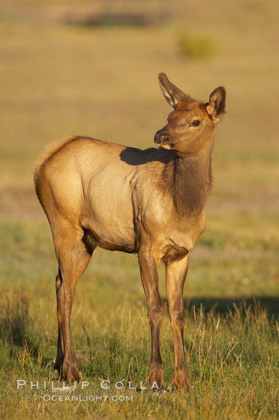 Juvenile elk in golden, late afternoon light, in meadow along Madison River, autumn. Yellowstone National Park, Wyoming, USA, Cervus canadensis, natural history stock photograph, photo id 19704
