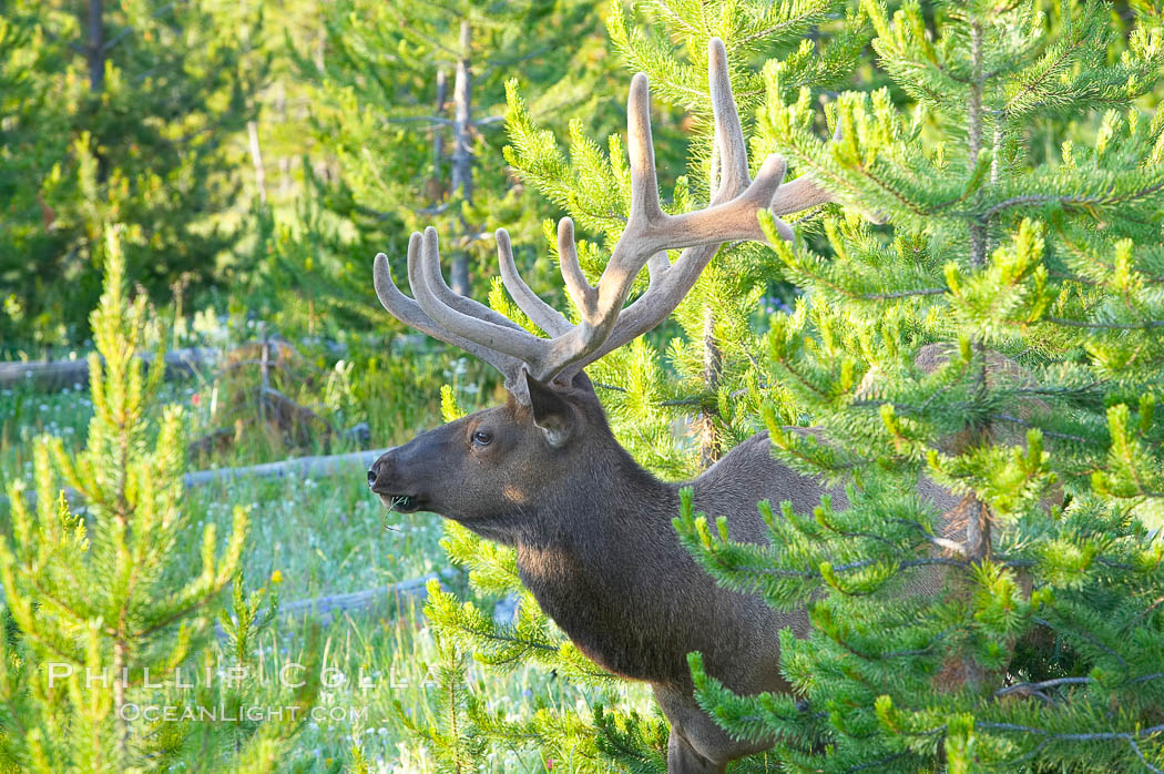 Elk rest in wooded areas during the midday heat, summer. Yellowstone National Park, Wyoming, USA, Cervus canadensis, natural history stock photograph, photo id 13190