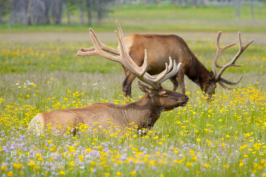 Elk rest in tall grass surrounded by wildflowers, Gibbon Meadow. Gibbon Meadows, Yellowstone National Park, Wyoming, USA, Cervus canadensis, natural history stock photograph, photo id 13175