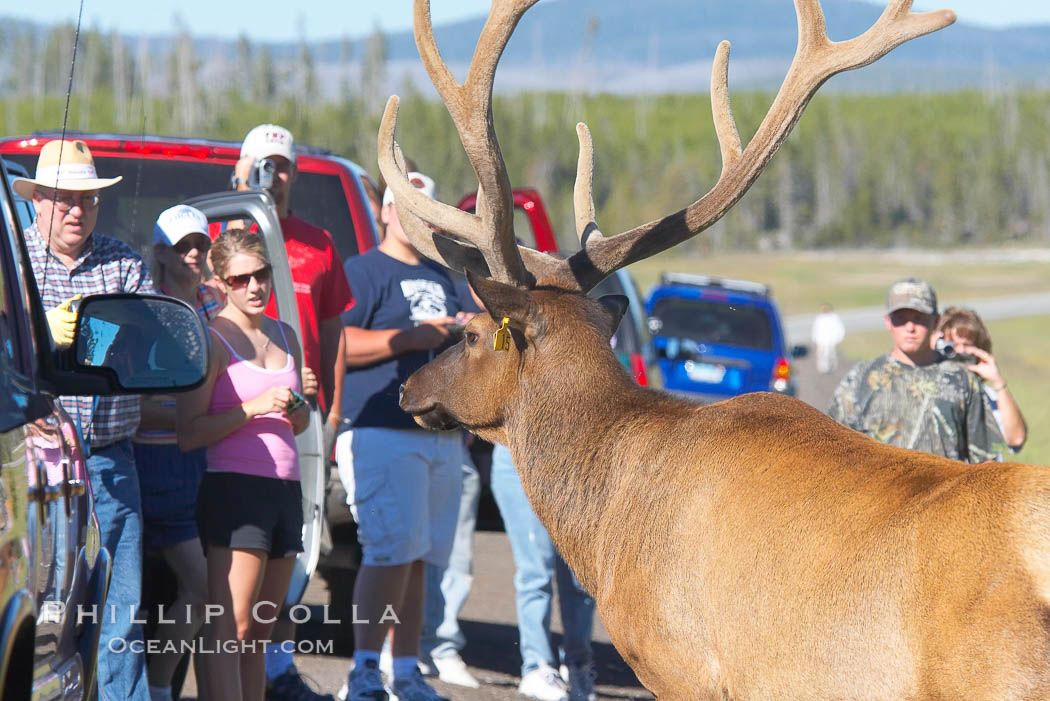 Tourists get a good look at wild elk who have become habituated to human presence in Yellowstone National Park. Yellowstone National Park, Wyoming, USA, Cervus canadensis, natural history stock photograph, photo id 13209
