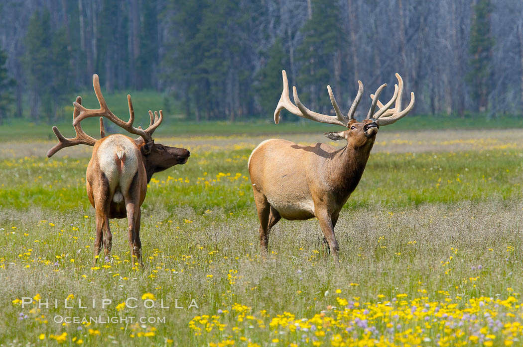Bull elk spar to establish harems of females, Gibbon Meadow. Gibbon Meadows, Yellowstone National Park, Wyoming, USA, Cervus canadensis, natural history stock photograph, photo id 13151