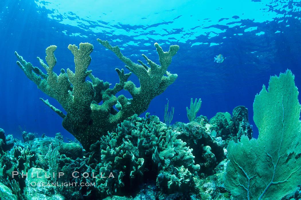 Elkhorn coral. Roatan, Honduras, Acropora palmata, natural history stock photograph, photo id 18502