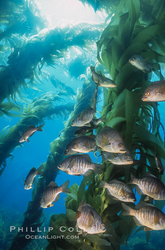 Black perch in kelp forest. San Clemente Island, California, USA, Embiotoca jacksoni, natural history stock photograph, photo id 04813
