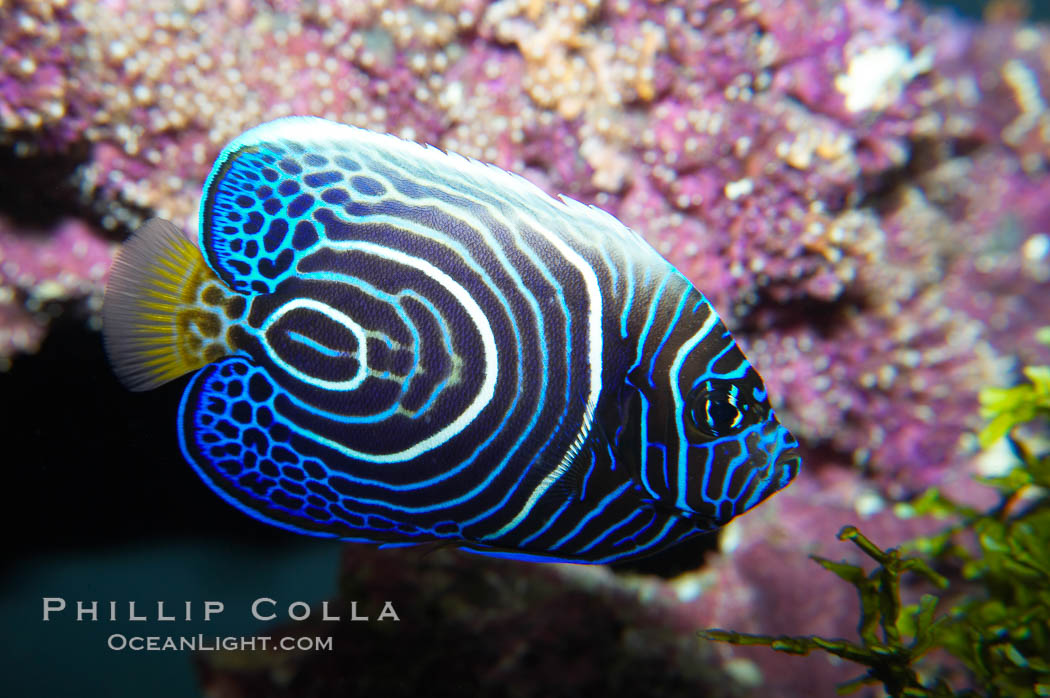 Image 13745, Emperor angelfish, juvenile coloration., Pomacanthus imperator, Phillip Colla, all rights reserved worldwide. Keywords: adult - juvenile difference, angelfish, animal, color and pattern, creature, emperor angelfish, fish, fish anatomy, indo-pacific, juvenile, marine, marine fish, nature, ocean, pomacanthus imperator, sea, stripe, teleost fish, underwater, wildlife.