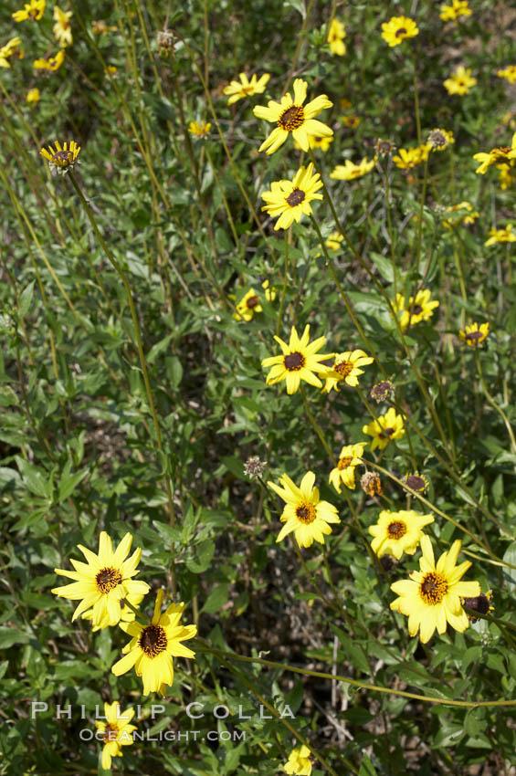 Bush sunflower, Batiquitos Lagoon, Carlsbad. Batiquitos Lagoon, Carlsbad, California, USA, Encelia californica, natural history stock photograph, photo id 11327