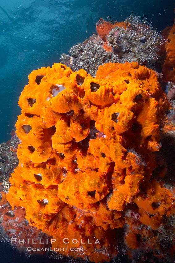 Encrusting sponges cover the lava reef. Cousins, Galapagos Islands, Ecuador, natural history stock photograph, photo id 16456
