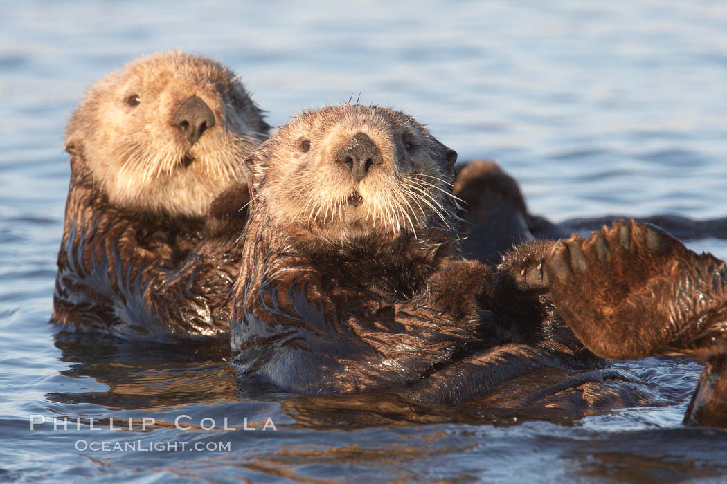 Sea otters, resting on the surface by lying on their backs, in a group known as a raft. Elkhorn Slough National Estuarine Research Reserve, Moss Landing, California, USA, Enhydra lutris, natural history stock photograph, photo id 21604