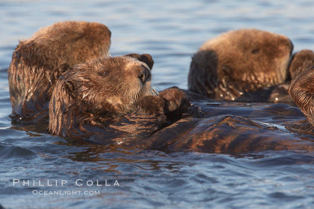 Sea otters, resting on the surface by lying on their backs, in a group known as a raft. Elkhorn Slough National Estuarine Research Reserve, Moss Landing, California, USA, Enhydra lutris, natural history stock photograph, photo id 21649