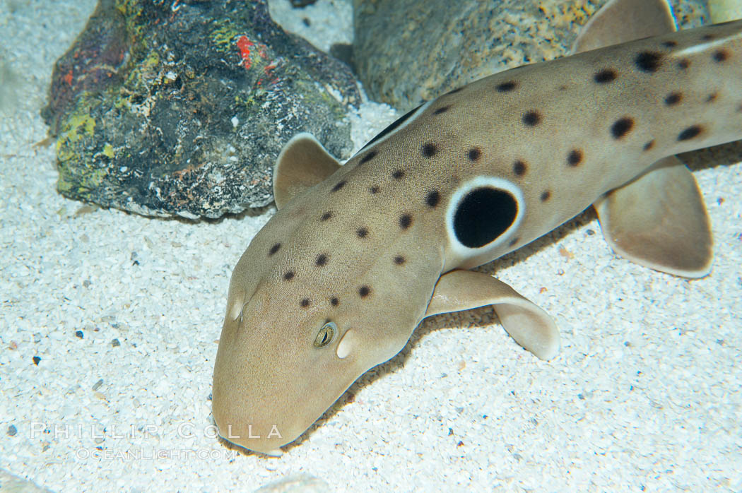 Epaulette shark.  The epaulette shark is primarily nocturnal, hunting for crabs, worms and invertebrates by crawling across the bottom on its overlarge fins., Hemiscyllium ocellatum, natural history stock photograph, photo id 14959