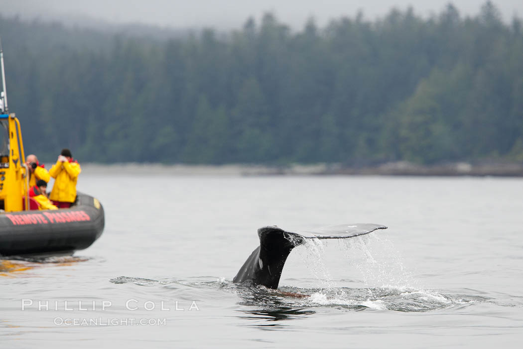 Gray whale raising its fluke (tail) in front of a boat of whale watchers before diving to the ocean floor to forage for crustaceans, Cow Bay, Flores Island, near Tofino, Clayoquot Sound, west coast of Vancouver Island. Cow Bay, Flores Island, British Columbia, Canada, Eschrichtius robustus, natural history stock photograph, photo id 21183