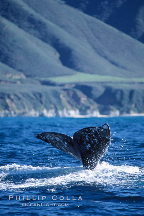 Gray whale, raising fluke to dive. Big Sur, California, USA, Eschrichtius robustus, natural history stock photograph, photo id 05781