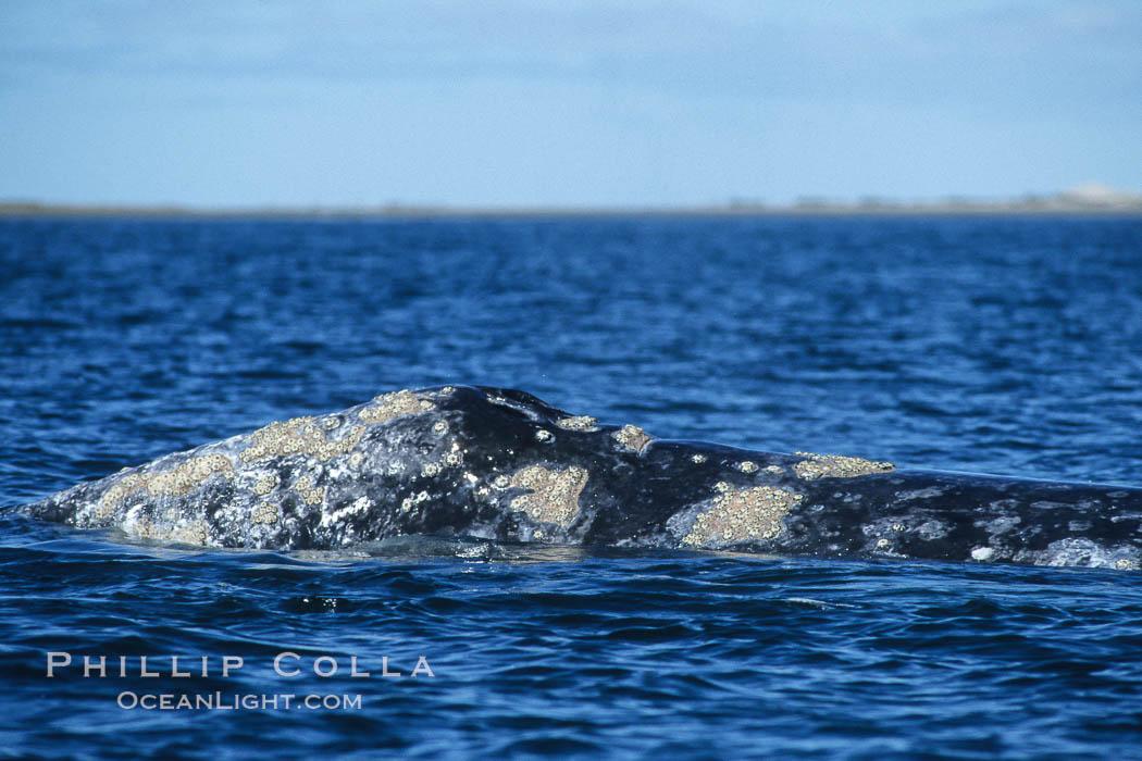 Image 06425, Gray whale dorsal aspect showing characteristic skin mottling and ectoparasitic barnacles and whale lice (amphipod crustaceans), Laguna San Ignacio. San Ignacio Lagoon, Baja California, Mexico, Eschrichtius robustus
