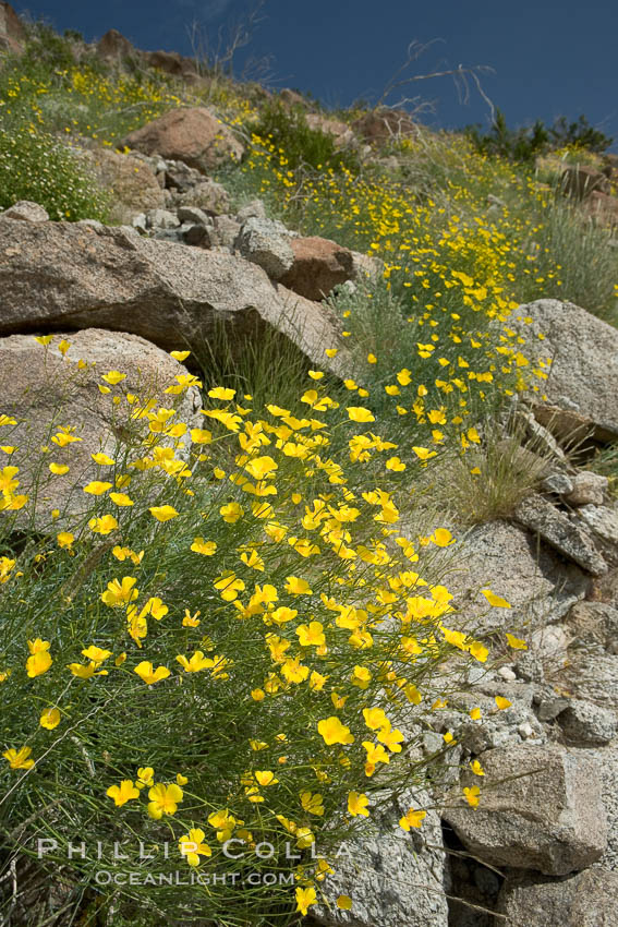 Clusters of desert poppy climb the steep sides of the Borrego Valley. Heavy winter rains led to a historic springtime bloom in 2005, carpeting the entire desert in vegetation and color for months. Anza-Borrego Desert State Park, Borrego Springs, California, USA, Eschscholzia parishii, natural history stock photograph, photo id 10945