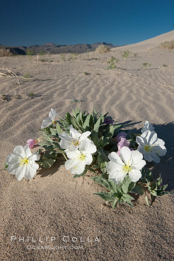 Eureka Valley Dune Evening Primrose.  A federally endangered plant, Oenothera californica eurekensis is a perennial herb that produces white flowers from April to June. These flowers turn red as they age. The Eureka Dunes evening-primrose is found only in the southern portion of Eureka Valley Sand Dunes system in Indigo County, California. Death Valley National Park, USA, Oenothera californica eurekensis, Oenothera deltoides, natural history stock photograph, photo id 25341