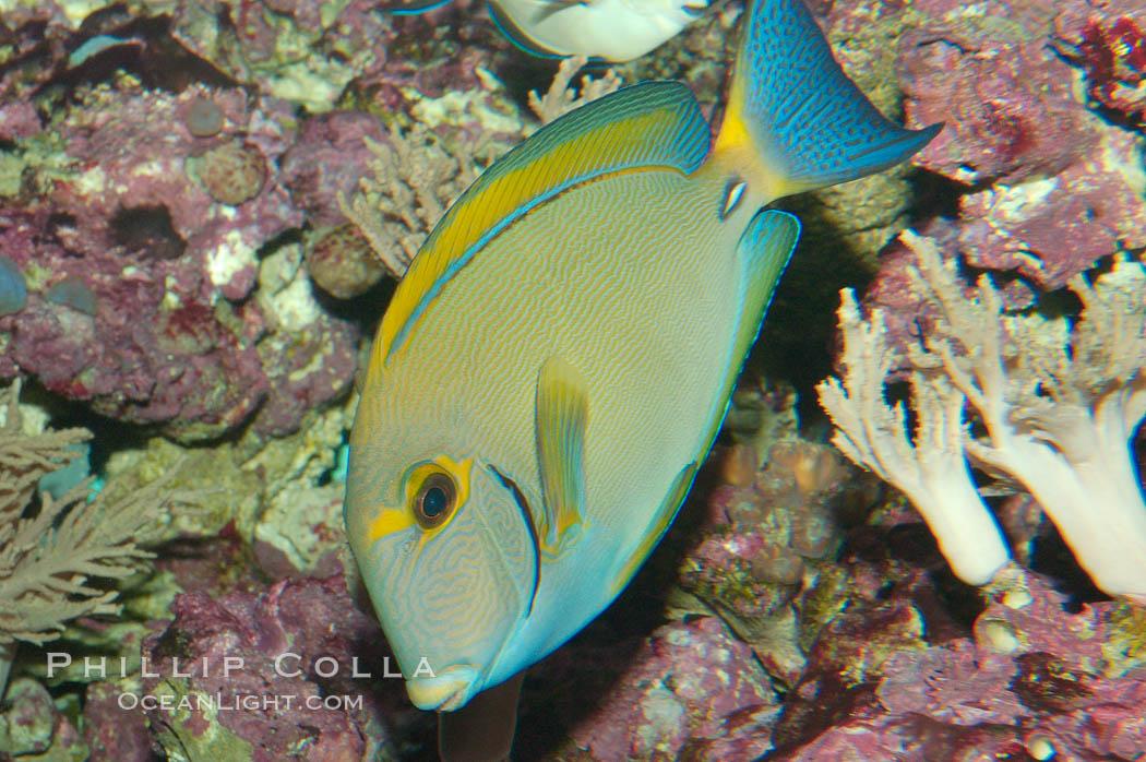 Eyestripe surgeonfish., Acanthurus dussumieri, natural history stock photograph, photo id 08718