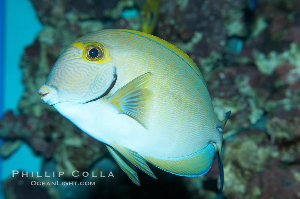 Eyestripe surgeonfish., Acanthurus dussumieri, natural history stock photograph, photo id 11782