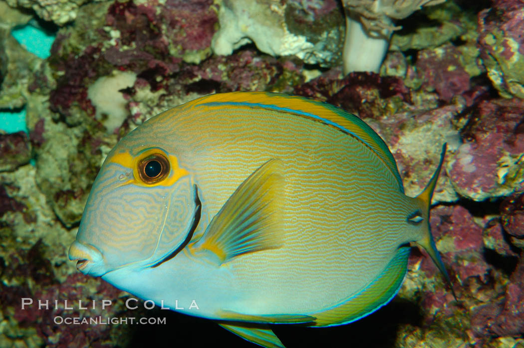 Image 08721, Eyestripe surgeonfish., Acanthurus dussumieri
