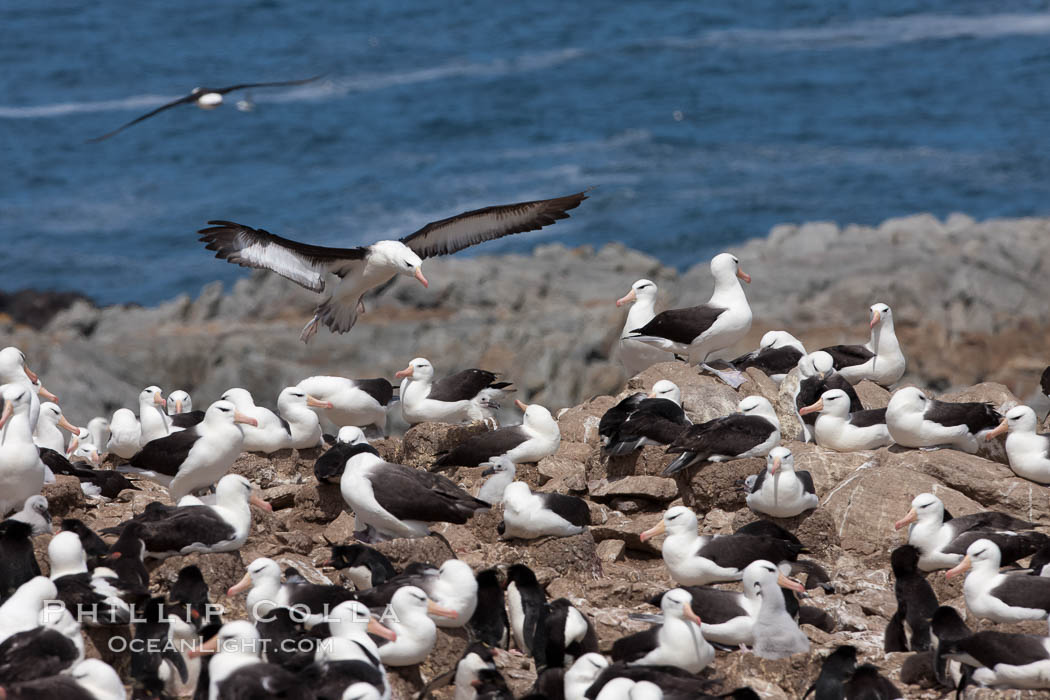 Black-browed albatross in flight, over the enormous colony at Steeple Jason Island in the Falklands. Falkland Islands, United Kingdom, Thalassarche melanophrys, natural history stock photograph, photo id 24142