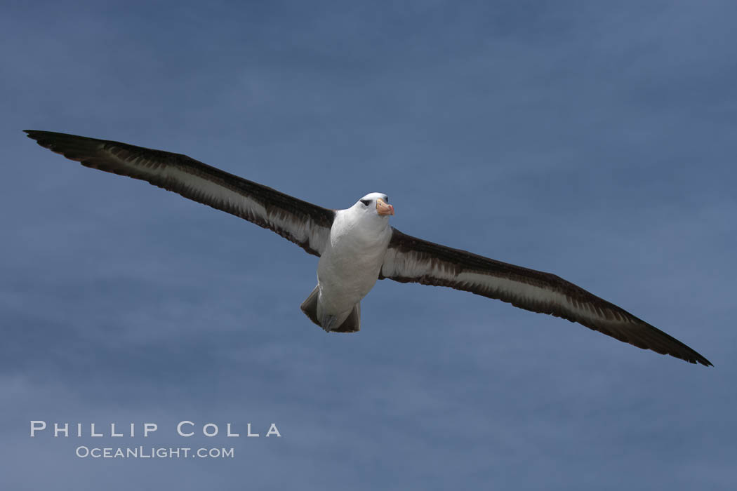 Black-browed albatross in flight, against a blue sky.  Black-browed albatrosses have a wingspan reaching up to 8', weigh up to 10 lbs and can live 70 years.  They roam the open ocean for food and return to remote islands for mating and rearing their chicks. Steeple Jason Island, Falkland Islands, United Kingdom, Thalassarche melanophrys, natural history stock photograph, photo id 24146