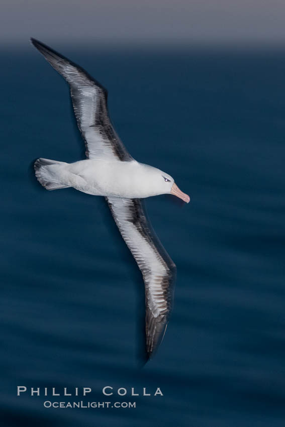 Image 23988, Black-browed albatross flying over the ocean, as it travels and forages for food at sea.  The black-browed albatross is a medium-sized seabird at 31-37