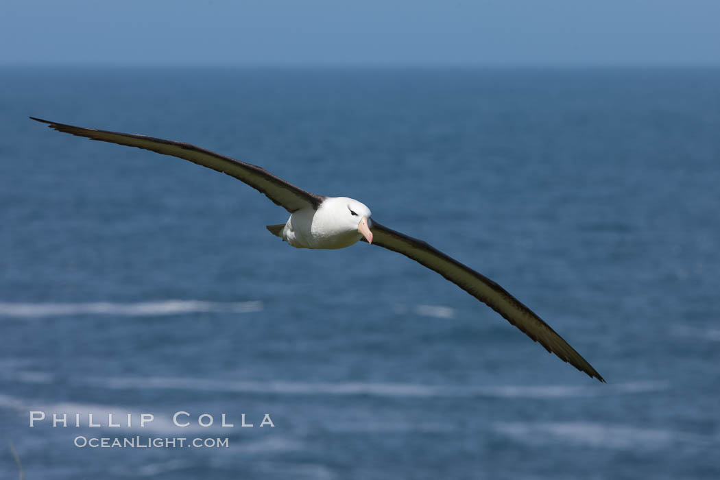 Black-browed albatross, in flight over the ocean.  The wingspan of the black-browed albatross can reach 10', it can weigh up to 10 lbs and live for as many as 70 years. Steeple Jason Island, Falkland Islands, United Kingdom, Thalassarche melanophrys, natural history stock photograph, photo id 24235