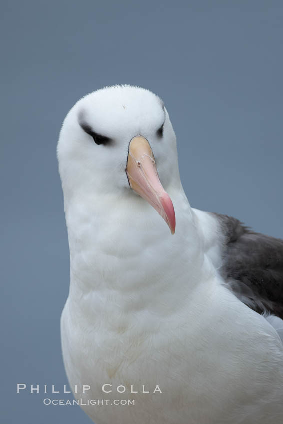 Black-browed albatross. Westpoint Island, Falkland Islands, United Kingdom, Thalassarche melanophrys, natural history stock photograph, photo id 23941