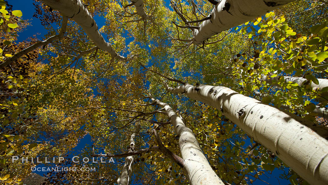 Aspen trees, with leaves changing from green to yellow in autumn, branches stretching skyward, a forest. Bishop Creek Canyon Sierra Nevada Mountains, Bishop, California, USA, Populus tremuloides, natural history stock photograph, photo id 26085