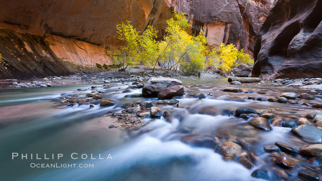 Cottonwood trees along the Virgin River, with flowing water and sandstone walls, in fall. Virgin River Narrows, Zion National Park, Utah, USA, natural history stock photograph, photo id 26128