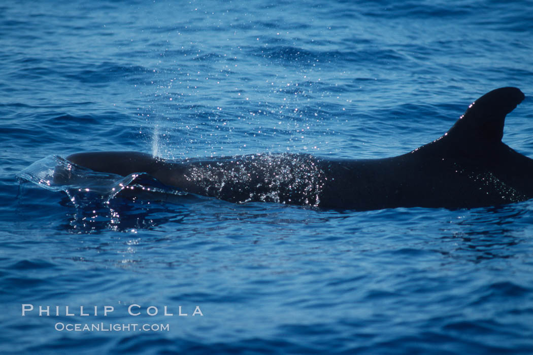 False killer whale. Lanai, Hawaii, USA, Pseudorca crassidens, natural history stock photograph, photo id 04569